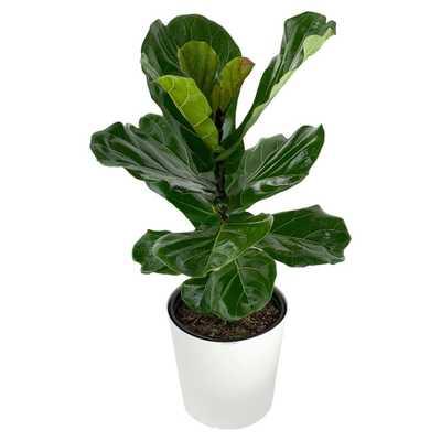 Pure Beauty Farms Ficus Lyrata Plant in 9.25 in. Designer Pot - Home Depot