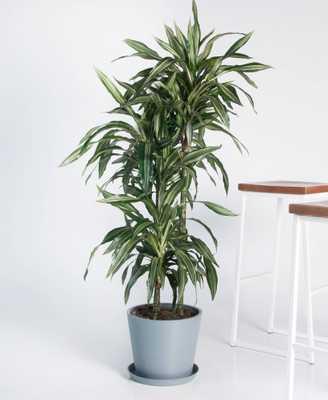 dracaena warneckii - slate - Bloomscape