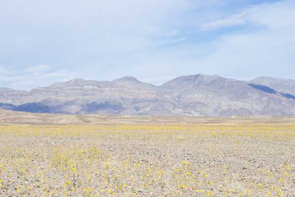 Death Valley Super Bloom - Artfully Walls
