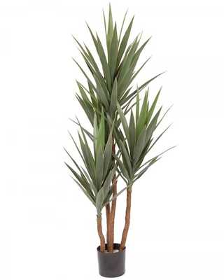 YUCCA TREES IN POT #1G2203GN00 - Tisbury Vale