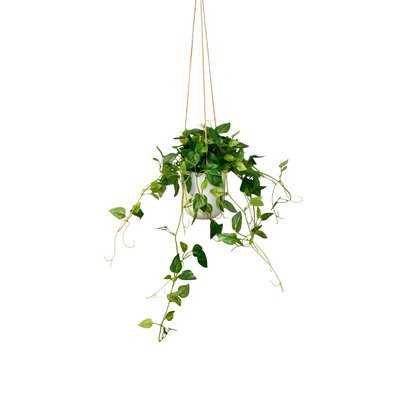 Hanging Philodendron Ivy Plant in Pot - Wayfair