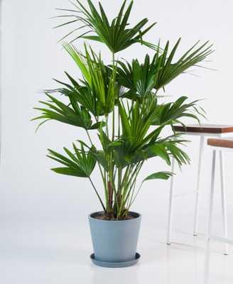 Chinese Fan Palm - Slate - Bloomscape