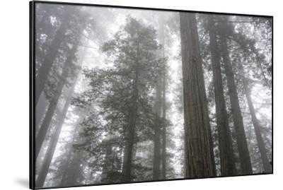 Lady Bird Johnson Grove, Prairie Creek Redwoods SP, California - art.com