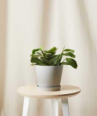 Neon prayer plant-Stone - Bloomscape