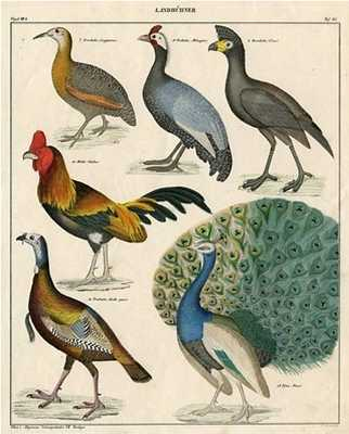 German Pheasant & Poultry Print, 1843 - One Kings Lane