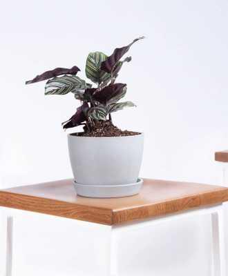 Pinstripe Plant - Stone - Bloomscape