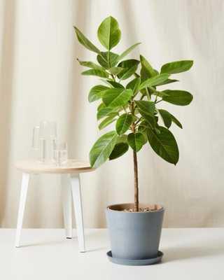 Ficus Altissima - Slate - Bloomscape