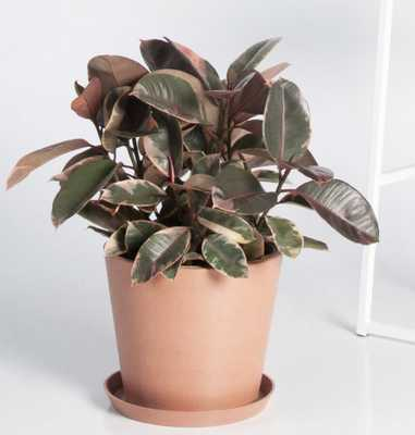 Variegated Ficus - Bloomscape