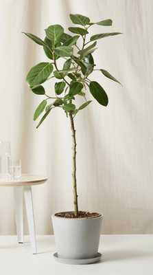 Ficus Audrey - stone - Bloomscape