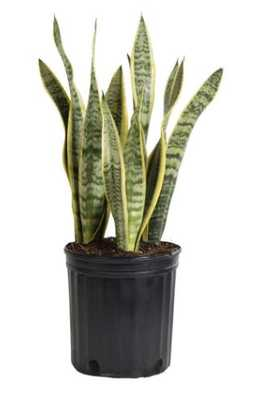 Sansevieria Laurentii in 8.75 in. Grower Pot - Home Depot