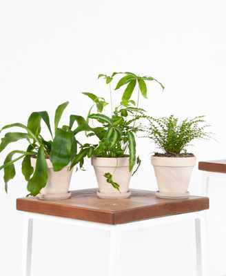 fern friends collection - alabaster - Bloomscape
