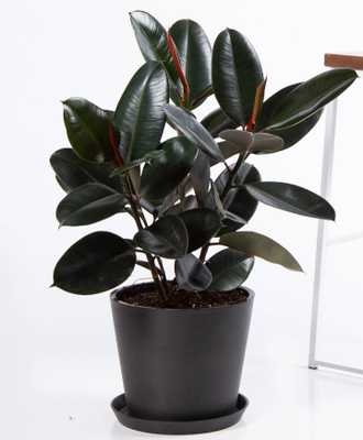 Burgundy rubber tree - Charcoal - Bloomscape