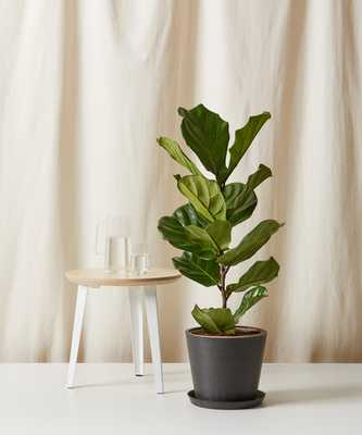 Fiddle Leaf Fig Column_ Charcoal - Bloomscape
