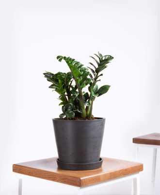 Zenzi plant - Charcoal - Bloomscape