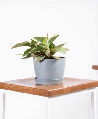 Peperomia ginny - Slate - Bloomscape