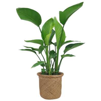 "28"" Live Flowering Plant in Basket - AllModern"