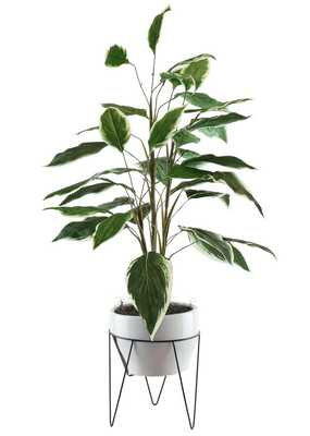Dieffenbachia in a Mid Century Plant Stand - Wayfair