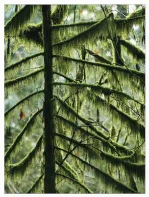 Woodland View of Evergreens and Tree Trunks Covered in Moss - art.com