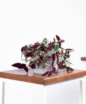 Tradescantia Zebrina - Stone - Bloomscape