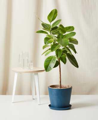 Ficus Altissima - Indigo - Bloomscape