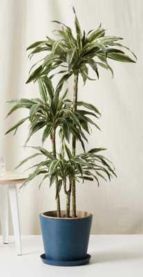 dracaena warneckii - indigo - Bloomscape