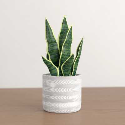 Snake Plant in Pot - Wayfair