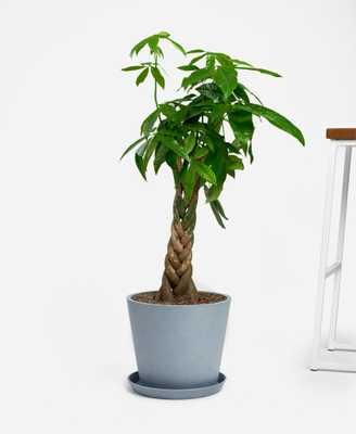 Money Tree - Bloomscape