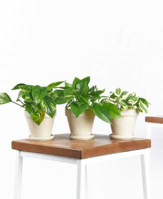 Pothos Collection - Bloomscape