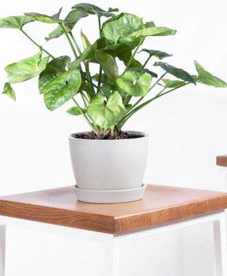 arrowhead plant - stone pot - Bloomscape