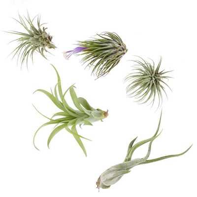 Assorted Air Plants (5 Pack) - Home Depot
