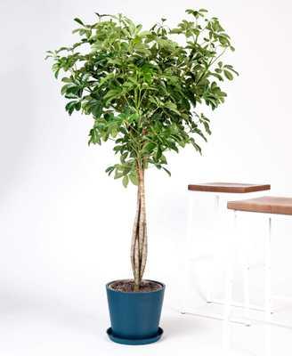 schefflera arboricola (indigo pot) - Bloomscape