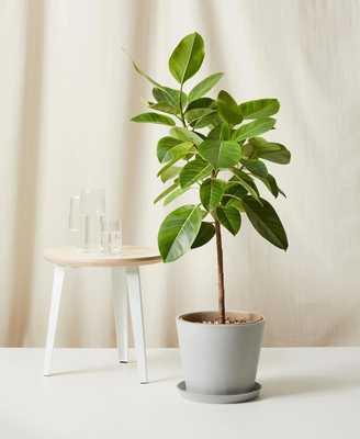 Ficus Altissima - Bloomscape