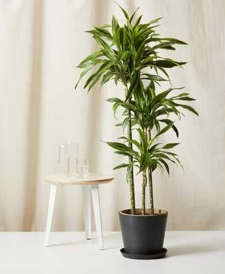 Dracaena Gold Star - charcoal - Bloomscape