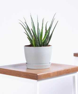 Hedgehog Aloe - Stone - Bloomscape