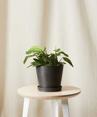 Neon Prayer Plant, Charcoal - Bloomscape