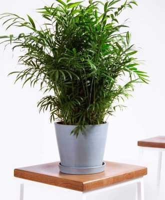 Parlor palm - Slate - Bloomscape