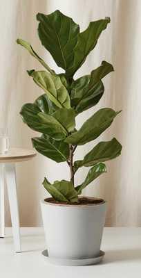 Fiddle Leaf Fig Column - Bloomscape