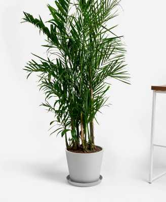 Bamboo Palm - Bloomscape