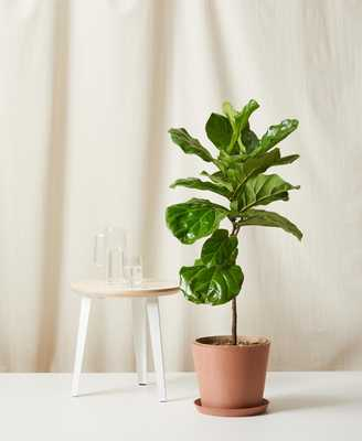 Fiddle Leaf Fig- Clay - Bloomscape