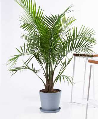 Majesty palm - Slate - Bloomscape