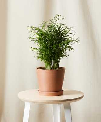 Parlor Palm, Clay - Bloomscape