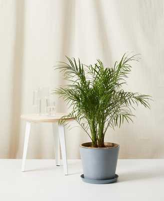 Date Palm - Slate - Bloomscape