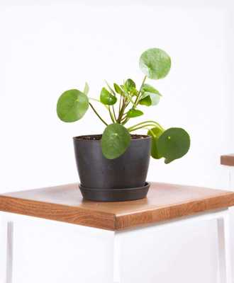 Pilea Charcoal - Bloomscape