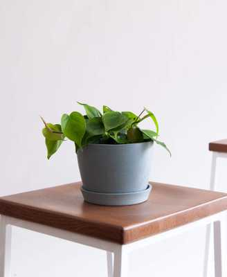 Philodendron Heartleaf - Slate - Bloomscape