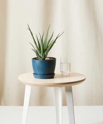 Hedgehog Aloe -indigo - Bloomscape