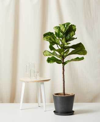 Fiddle Leaf Fig, charcoal pot - Bloomscape