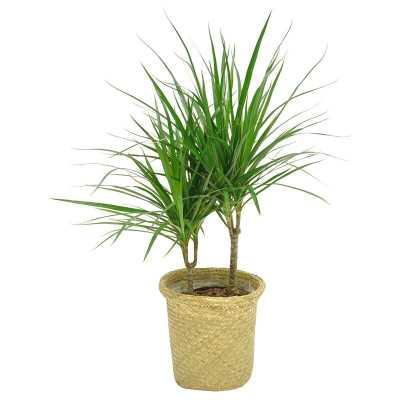 "Costa Farms 36"" Live Dracaena Plant in Basket - Perigold"