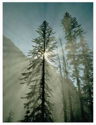 Rays of Sunlight Beam Through the Mist and Boughs of Towering Evergreen Trees - art.com