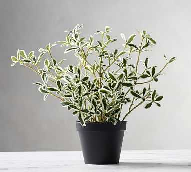 Potted Variegated Mirror Houseplant - Pottery Barn