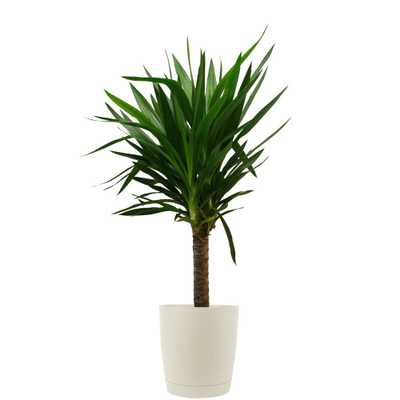 Costa Farms Yucca Cane in 8.75 in. Cream Decor Pot - Home Depot